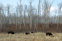 Wilde bizon op weide Stock Foto