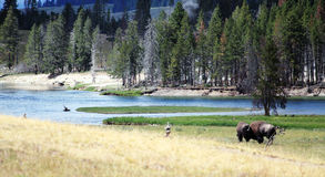 Wilde bizons op een rivier Stock Afbeelding