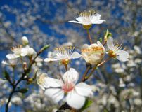Wilde blühende Obstbäume des Makrofotofrühlinges Lizenzfreie Stockfotos