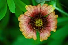 Wilde blühende Pflanze stockbilder