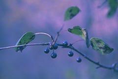 Wilde blaue Beeren Lizenzfreie Stockbilder
