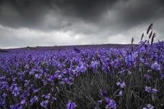 Wilde blaue Bell-Landschaft Lizenzfreies Stockbild