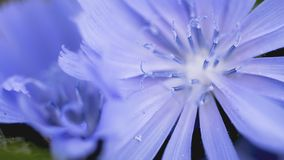 Wilde blaue Blume mit einem blured Hintergrund lizenzfreies stockbild