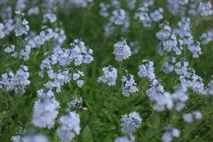 Wilde blaue Blumen Lizenzfreie Stockfotografie