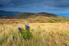 Wilde blaue Blumen im Vordergrund im Gebirgstal Lizenzfreies Stockbild