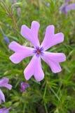 Wilde blaue Flammenblume Stockbilder