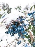 Wilde blauwe bessen stock foto