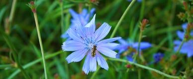 Wilde blauwe bloem met een bij in Duitsland stock foto's