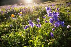 Wilde blauwe bloemen in bergen Stock Afbeeldingen
