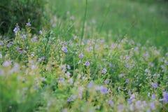 Wilde blauwe bloemen op een weide in de zomer Royalty-vrije Stock Afbeelding