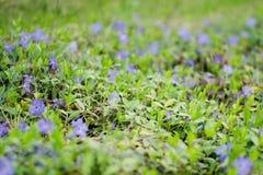 Wilde blauwe bloemenmaagdenpalm op een weide in de zomer Stock Foto
