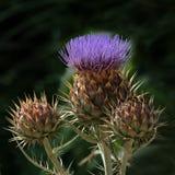 Wilde bloem Royalty-vrije Stock Foto's