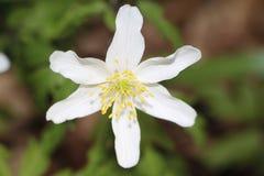 Wilde bloem Royalty-vrije Stock Afbeeldingen