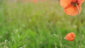 Wilde bloem in de weide stock videobeelden