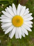 Wilde bloem in de zomer Stock Foto