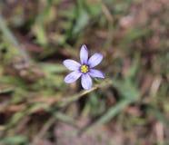 Wilde bloem, Geel Purple, buiten stock afbeelding