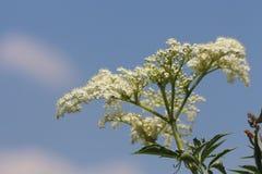 Wilde bloem op de weg white2 Stock Foto's