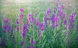 Wilde bloem (weidebloem) Royalty-vrije Stock Foto