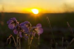 Wilde bloemen bij zonsondergang Royalty-vrije Stock Foto