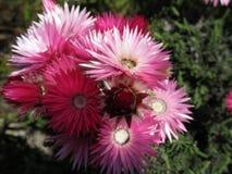 Wilde Bloemen in de Kaap royalty-vrije stock afbeelding