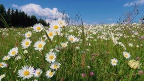 Wilde bloemen in de weide royalty-vrije stock foto