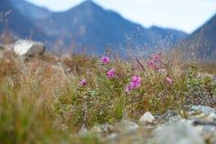 Wilde bloemen die in toendra bloeien Royalty-vrije Stock Afbeelding