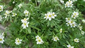 Wilde bloemen en installaties Bloem van anemoon Wilde Bloemen Kleurrijke bloemen op het gebied Wildflowers onder gras en stock videobeelden