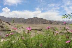 Wilde bloemen in Himalayagebergte Stock Fotografie