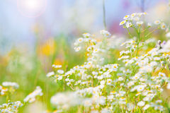 Wilde bloemen met heldere blauwe hemel Stock Fotografie