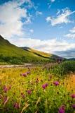 Wilde bloemen op bergenheuvel, Schotland Royalty-vrije Stock Foto