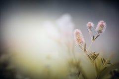 Wilde bloemen op de aardachtergrond van de schemermist Klaver arvense Royalty-vrije Stock Afbeelding