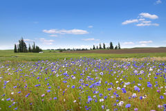 Wilde bloemen op Tarwegebieden stock fotografie