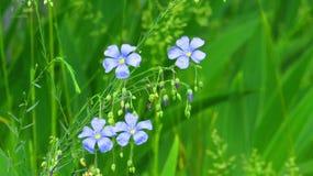 Wilde bloemen, vlas royalty-vrije stock afbeeldingen