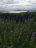 Wilde bloemen in Waiheke Nieuw Zeeland Stock Foto