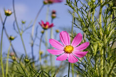 Wilde bloemenaster, mooie achtergrond, schoonheid, Royalty-vrije Stock Fotografie