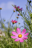 Wilde bloemenaster, mooie achtergrond, schoonheid, Stock Afbeeldingen