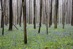 Wilde bloemenhyacinten in Belgisch de lentehout 2 Ritme van boomstammen Stock Foto