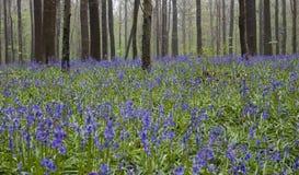 Wilde bloemenhyacinten in Belgisch de lentehout 2 Ritme van boomstammen Royalty-vrije Stock Foto