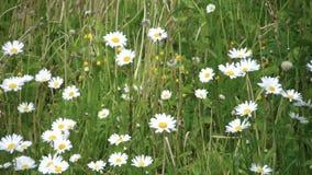 Wilde bloemenmadeliefjes in een dik groen gras stock footage