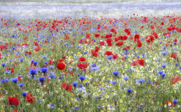 Wilde bloemweide, Heartwood-Bos, Sandridge, St Albans, Hertfordshire Royalty-vrije Stock Fotografie
