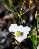 Wilde Blume, Ameisen und eine Fliege Lizenzfreie Stockfotografie