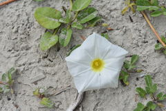 Wilde Blume auf dem Strand Stockbild