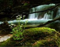 Wilde Blume auf einem moosigen Stein Lizenzfreie Stockfotografie