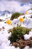 Wilde Blume an den Kirgisistan-Schnee-Bergen Stockfotografie