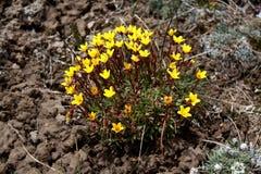 Wilde Blume an den Kirgisistan-Schnee-Bergen Lizenzfreies Stockbild