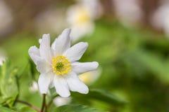 Wilde Blume der Anemone Lizenzfreie Stockfotos