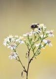 Wilde Blume der Honigbiene Stockbild