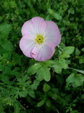 Wilde Blume der recht rosa Mohnblume Lizenzfreie Stockbilder
