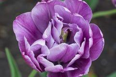 Wilde Blume der rosa purpurroten Pfingstrose - Paeonia mascula stockfotos