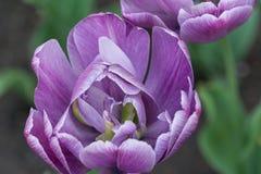 Wilde Blume der rosa purpurroten Pfingstrose - Paeonia mascula lizenzfreie stockfotos